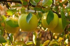 Jardin de pomme d'automne Photographie stock libre de droits