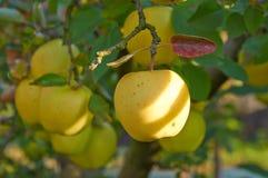 Jardin de pomme d'automne Images libres de droits
