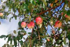 Jardin de pommes Photos libres de droits