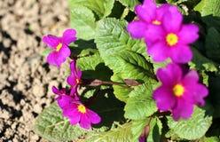 Jardin de primevère au printemps Primevères au printemps images stock