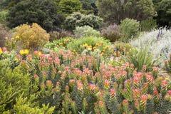 Jardin de Protea images stock