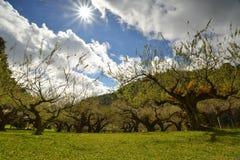 Jardin de prune sous le ciel bleu Images stock