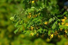 Jardin de ressort d'arborescens de Caragana Photographie stock