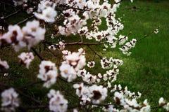 Jardin de ressort des abricots fleurissants Photographie stock