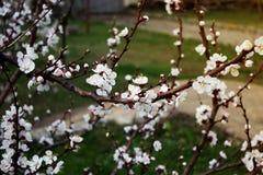 Jardin de ressort des abricots fleurissants Photo libre de droits