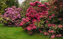 Jardin de rhododendron Photographie stock libre de droits