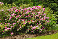 Jardin de rhododendron Images libres de droits