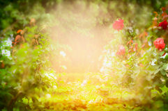 Jardin de roses ensoleillé, fond brouillé de nature Photographie stock libre de droits
