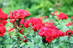 Jardin de roses rouges Photo stock