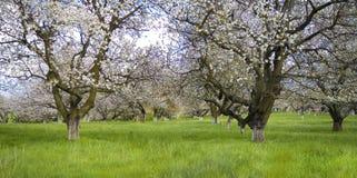 Jardin de Sakura Image libre de droits