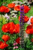 Jardin de source avec des pavots Photo libre de droits
