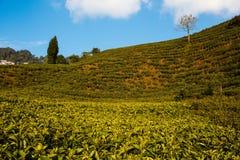 Jardin de thé dans les montagnes dans l'Inde darjeeling Photo stock