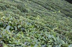 Jardin de thé dans Rize Photo libre de droits