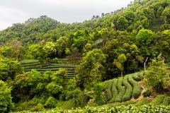 Jardin de thé de Meijiawu Photo libre de droits