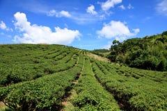 Jardin de thé, Taïwan Images stock