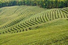 Jardin de thé vert Photos libres de droits