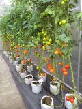 Jardin de tomates images stock