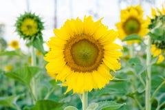 Jardin de tournesols Les tournesols ont les prestations-maladie abondantes Sun Images stock