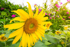 Jardin de tournesols Les tournesols ont les prestations-maladie abondantes Images stock