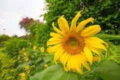 Jardin de tournesols Les tournesols ont les prestations-maladie abondantes Image libre de droits