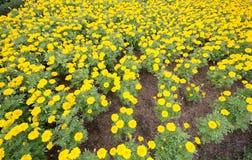 Jardin de tournesols Les tournesols ont les prestations-maladie abondantes Photographie stock libre de droits