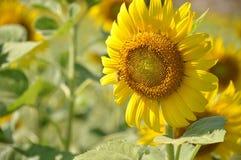 Jardin de tournesols Les tournesols ont les prestations-maladie abondantes L'huile de tournesol améliore la santé de peau et favo Image stock