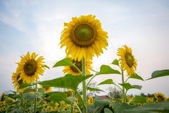 Jardin de tournesols Les tournesols ont les prestations-maladie abondantes Sun Photos libres de droits