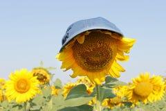 Jardin de tournesols Tournesol dans un chapeau sous le soleil étouffant Les tournesols ont les prestations-maladie abondantes photo stock