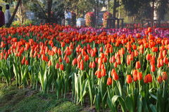 Jardin de tulipe Photo stock