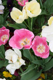 Jardin de tulipe Image libre de droits