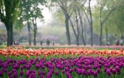 Jardin de tulipe Photo libre de droits