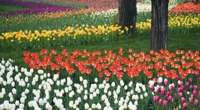 Jardin de tulipe Photographie stock libre de droits