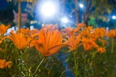 Jardin de tulipe dans la nuit Photo stock