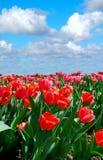 Jardin de tulipe dans le printemps Photographie stock libre de droits