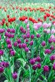 Jardin de tulipe en nature photos libres de droits