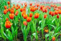 Jardin de tulipe en nature photo libre de droits
