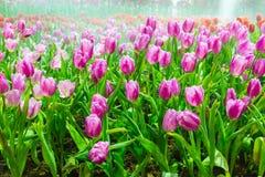 Jardin de tulipe en nature photos stock