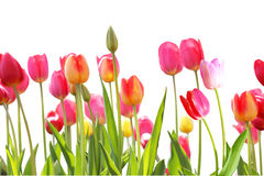 Jardin de tulipes Photographie stock
