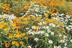 Jardin de zinnia de vintage photo libre de droits