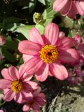 Jardin de Zinnia photo stock