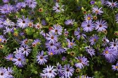 Jardin des asters bleus images libres de droits