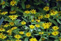 Jardin des marguerites jaunes Image stock