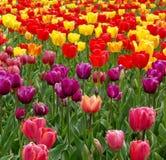 Jardin des tulipes Photos stock