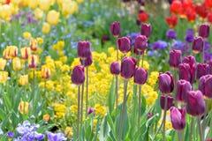 Jardin des tulipes au printemps photo stock
