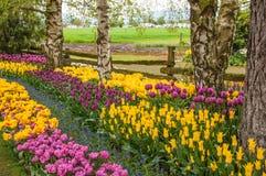Jardin des tulipes colorées Photos stock