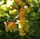 jardin doux de lumière du soleil de nourriture de feuille de fraise de fond vert en gros plan de bokeh Images libres de droits