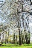 Jardin en fleur avec les cerisiers doux Images stock