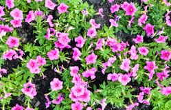 Jardin et agriculture de pétunia Image libre de droits