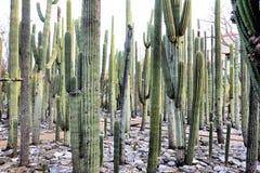 Jardin Etnobotanico Oaxaca Mexico Royalty-vrije Stock Afbeeldingen