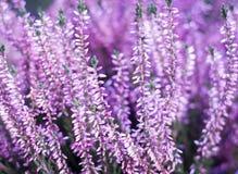 Jardin extérieur/botanique de floraison rose de bruyère de beauté (couleur t Photo libre de droits